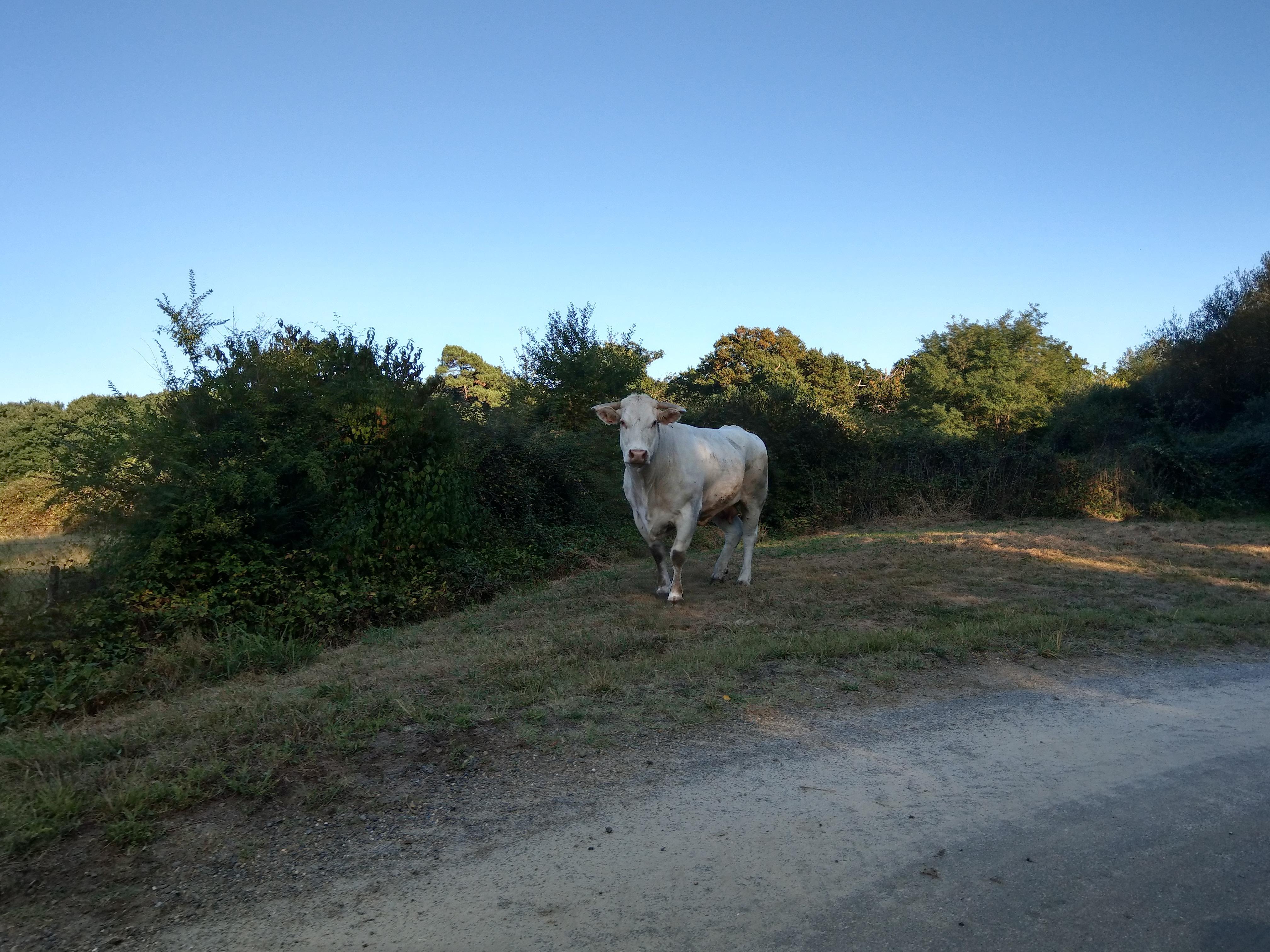 Plötzlich Kühe auf der Fahrbahn