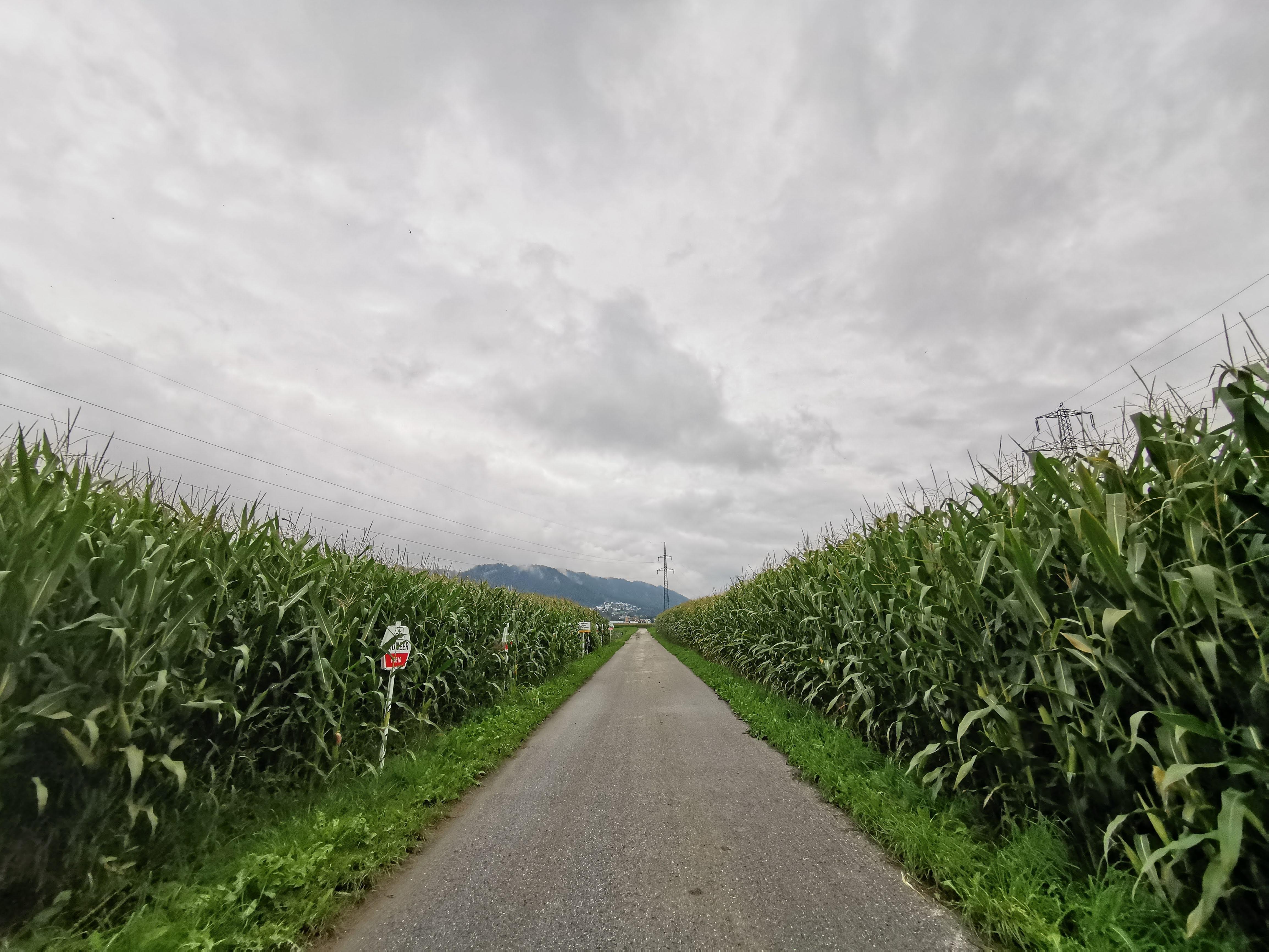 Maisfelder und dunkle Wolken am Inn